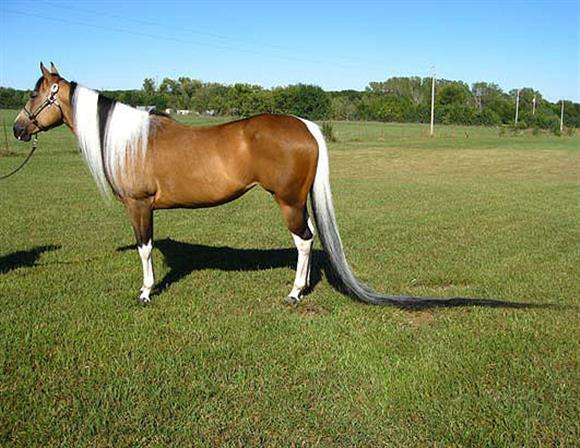 длинный хвост лошадки
