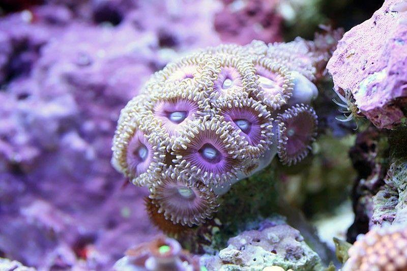 makrosemka korallov