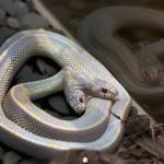 двуглавая Калифорнийская королевская змея альбинос