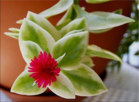 aptenia_cordifolia_variegata_2