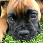 Чем кормить щенка, если у собаки нет молока?