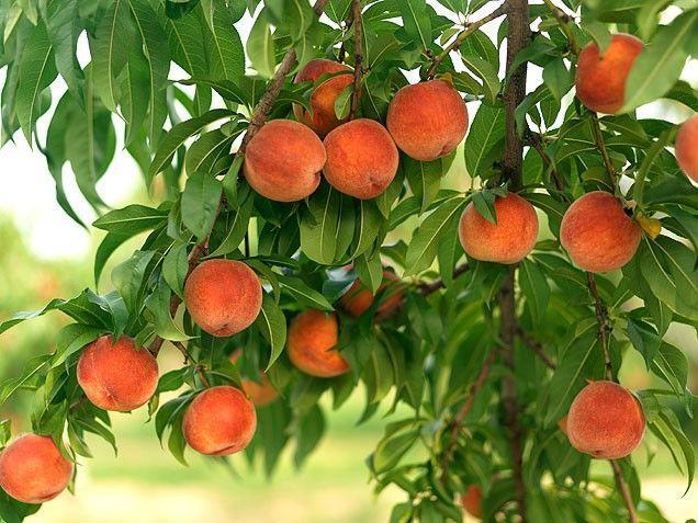 Все о персиках